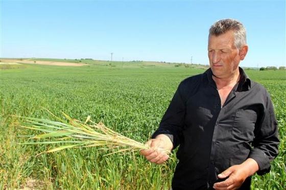 1 milyon 200 bin dekarlık arazide ekili buğday tehlikede!.. Sebebi ise!..
